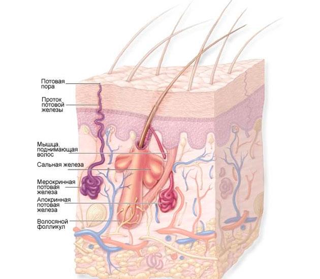 расположение апокриновых желез