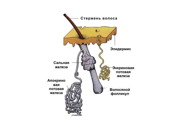 апокриновые железы